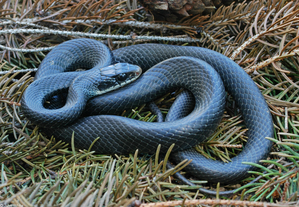 Black Snake With Yellow Rings In Georgia