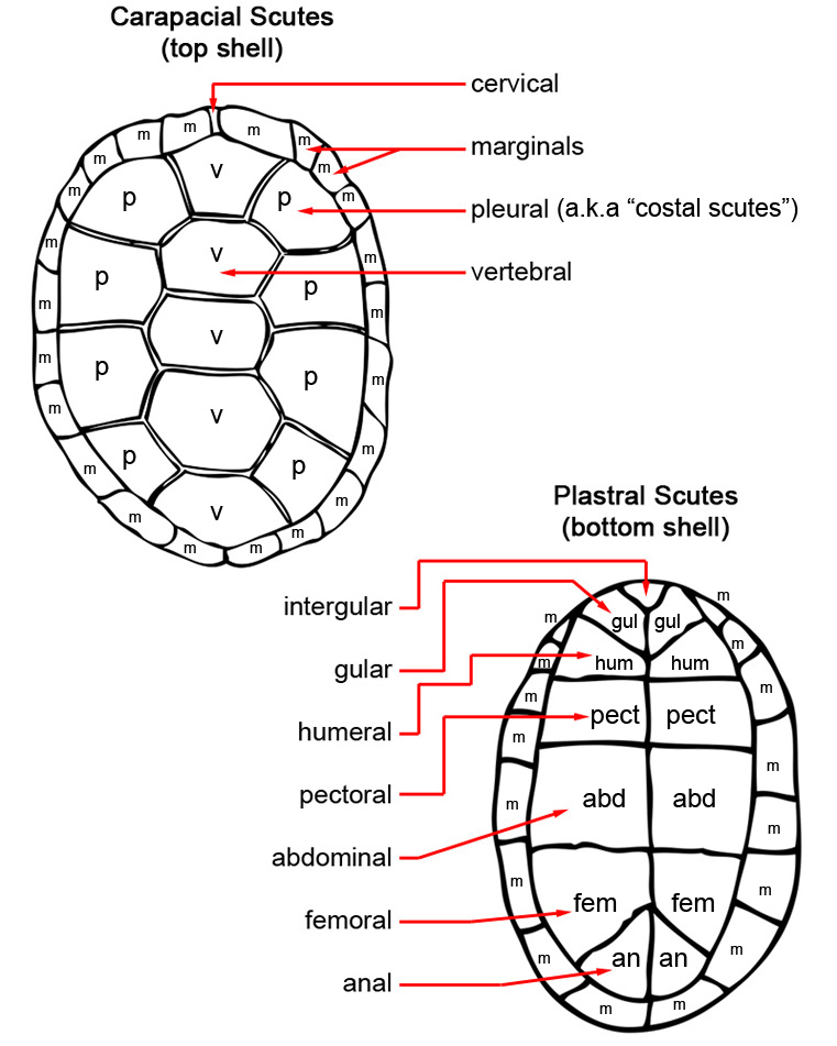 Diagram Parts Of A Turtle: Turtle Shell Diagram Pictures To Pin On Pinterest