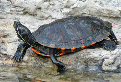 Northern Painted Turtle Baby