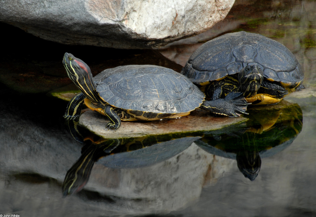 Adult Red Eared Slider Turtle Images & Pictures - Becuo