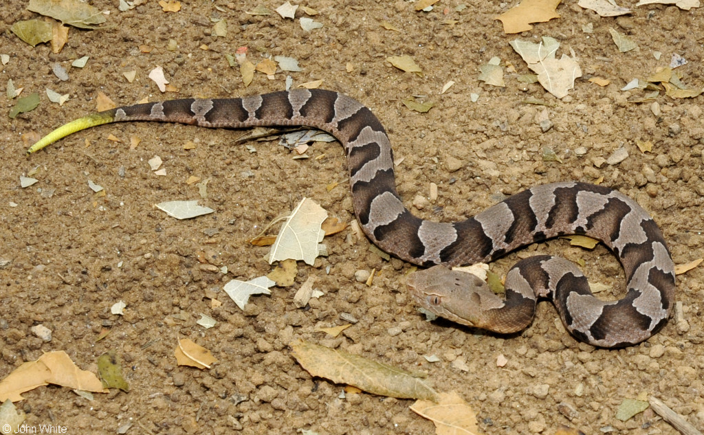 Copperheads And Similar Looking Harmless Species