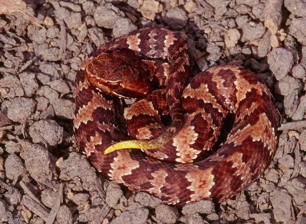 Cottonmouths and Similar Looking Harmless Species