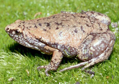 Frogs & Toads of Virginia