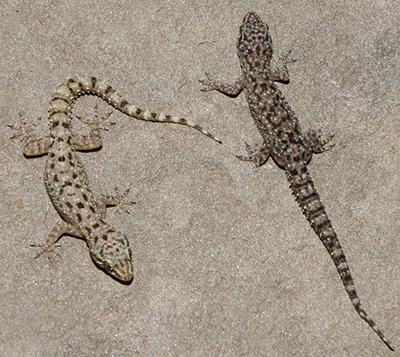 Lizards Of Virginia
