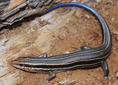 blue tailed skink coloring pages - photo#43