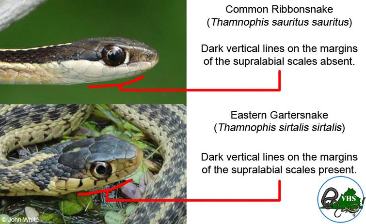 garter vs ribbion - Garden Snake Bite