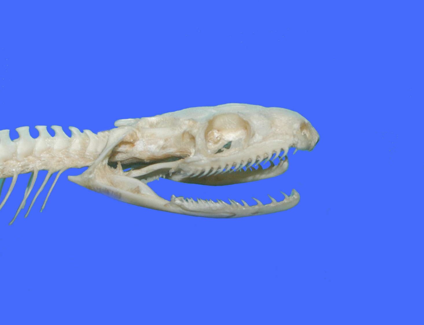 Eastern Ratsnake Gallery Images And Information Snake Skeleton Diagram Skull