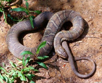 Snake Id Guide