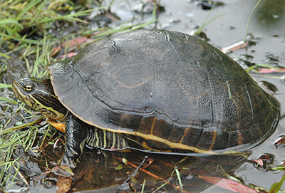 Virginia Wildlife Action Plan Rating Tier Ia Wood Turtle