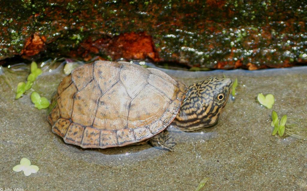 Stripe-Necked Musk Turtle